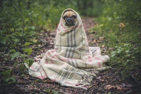 Emergency Pug is keeping cozy - warm and dry