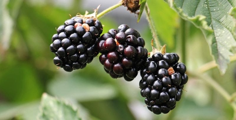 Food forraging: Blackberries