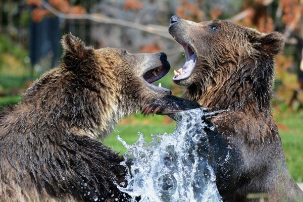 Sparring Grizzly Bears